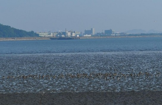 Shorebird flock during northern migration at Songdo (South Korea), where the East Asian-Australasian Flyway Partnership secretariat is based.