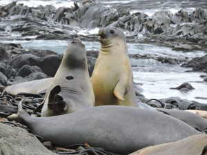 Rowdy elephant seals at Hurd Point