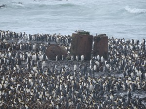 King penguins around the penguin boiling vats at Lusitania Bay
