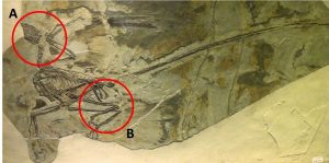 Microraptor is a genus of small four winged dinosaurs that lived during the Early Cretaceous 130 million years ago